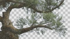 Jeffrey Pine Curved Trunk Pinus Jeffreyi Coniferous Evergreen Tree is Swaying Stock Footage