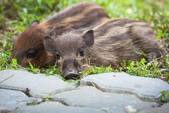 Stock Photo of Baby wild boars sleeping on grass