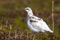 Male Rock Ptarmigan in fall tundra in winter plumage Stock Photos