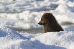Commanders blue arctic fox who looks into the distance on the beach sunny win - stock photo