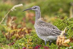 Whimbrel standing in the tundra autumn overcast day - stock photo