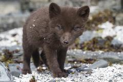 Commanders blue arctic fox puppy that looks directly into the lens near the d Stock Photos