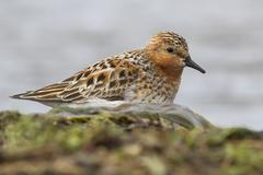 Rufous-necked stint which stands on the banks of the river spring day Stock Photos
