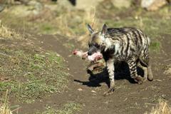 Striped hyena (Hyaena hyaena) - stock photo