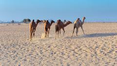 Camels on a farm in Dubai Stock Photos
