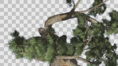 Jeffrey Pine Pinus Jeffreyi Top Down Coniferous Evergreen Tree is Swaying at Stock Footage