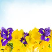 spring narcissus and irises - stock photo