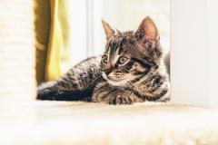 Alert little domestic tabby kitten Stock Photos