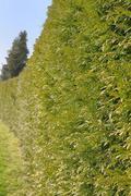 large hedge - stock photo