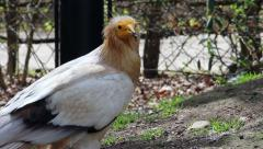 Egyptian Vulture Stock Footage