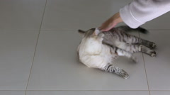 Female hand is fun game with beautiful Thai cat Stock Footage