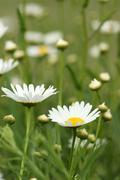 white daisy flowers on field spring season - stock photo