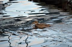 beautiful female mallard duck swimming in cold harbor sea water in wintertime - stock photo