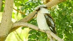 Australian Kookaburra bird sitting peacefully on tree branch, 4k 30p Stock Footage