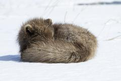 Commander's blue arctic fox that sleeps curled up in the snow - stock photo