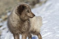 Commander's blue arctic fox who enthusiastically looking away Stock Photos