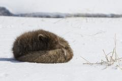 Commander's blue arctic fox that is sleeping in the snow on a sunny day Stock Photos