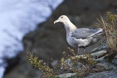 Glaucous-winged gull is sitting on the slope of the shore of the bay - stock photo