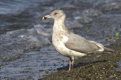 Glaucous-winged gull on the shore of the Pacific Ocean autumn - stock photo