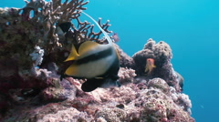 Butterflyfish floats over coral reef in Red Sea. Stock Footage
