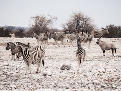 Herd of zebras - stock photo