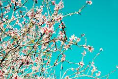 Almond tree in full bloom, vignetted Stock Photos