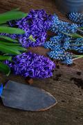 Hyacinth  and shovel Stock Photos