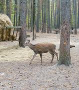 Roe deer in coniferous forest near the manger with hay - stock photo