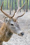 Head of a large deer with horns, who walks in a woods - stock photo
