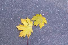 Two yellow autumn maple leaves lie on the asphalt pavement - stock photo