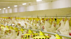 Chicken Farm poultry production Stock Footage