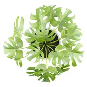 top view of monsteria plant in pot isolated on white background - stock illustration