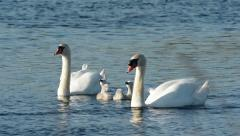 Mute Swans with cygnets. - stock footage