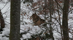 Gray wolf (Canis lupus) in winter forest - stock footage