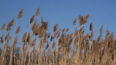 SWAYING REED. - stock footage