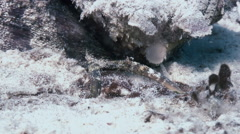 Scorpionfish stonefish scorpaenopsis diaboblus. Stock Footage