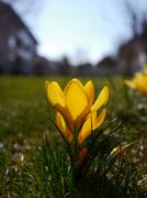 Lot of yellow crocuses on green meadow Stock Photos
