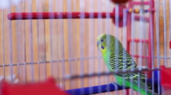 Home Parrot in a Bird Cage - stock footage