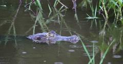 Yacare Caiman - Alligator, crocodile, reptile. Pantanal, Mato Grosso, Brazil. 4K Stock Footage