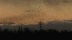 Black birds flock and make shapes in golden sky - stock footage