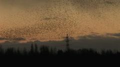 Black birds flock and make shapes in golden sky Stock Footage