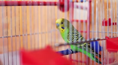 Home Parrot in a Bird Cage Stock Footage