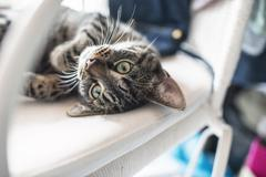 Stock Photo of Playful lazy young tabby cat lying on his back on white chair.