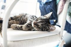 Playful lazy young tabby cat lying on his back on white chair. - stock photo