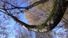 Trunk and branches of old birch tree Stock Footage