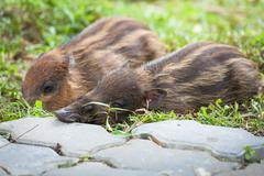Baby wild boars sleeping on grass - stock photo