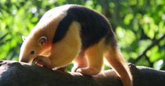 Tree Anteater - Brazilian Tamanduá Bandeira - 4K Stock Footage
