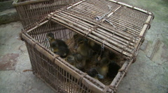 Closeup view of basket full of ducklings Stock Footage