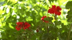 Static view of red flowers in India Stock Footage