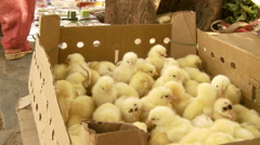 Yellow baby chicks in box outside in India Stock Footage